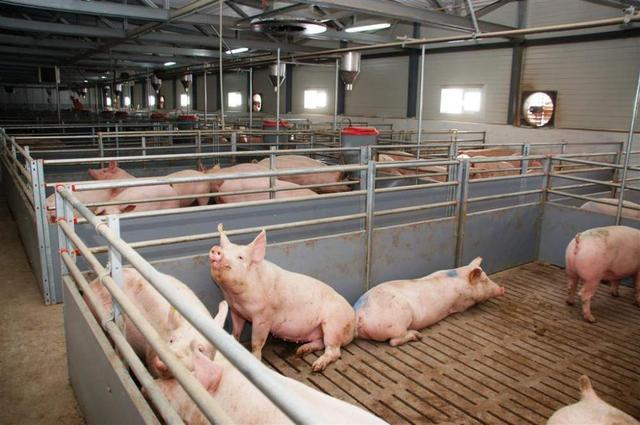бизнес на свинях, работа свинофермы, свиньи как бизнес