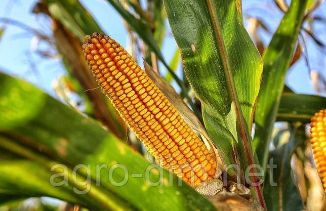 Семена кукурузы Дункан 233 СВ, ФАО 270