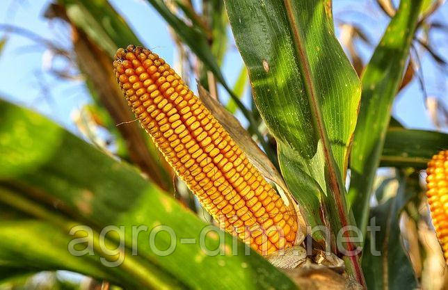 Семена кукурузы Дункан 233 СВ, ФАО 270, фото 2