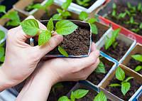 Базилик овощная культура как выращивать в теплице