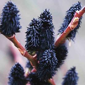 Верба тонкостовбурнаMelanostachys 2 річна, Ива тонкостолбиковая Меланостахис Salix gracilistyla Melanostachys