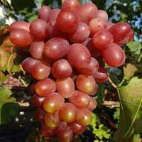 Виноград Иранец (вегетирующий)