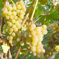 Виноград Джерельце