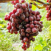 Виноград Клас