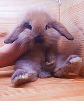 """Карликовый вислоухий кролик,порода """"Lion lop"""",окрас """"Тюрингенский"""",возраст 1,5мес.,девочка, фото 3"""