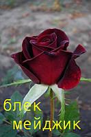 Саженцы кустарники роз Блек меджик.