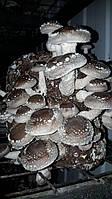 О грибе Шиитаке