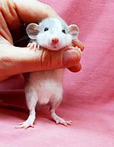 "Крыска дамбо,окрас ""Серо-белый"",мальчики,возраст 1мес., фото 3"