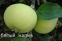 Саженцы яблони летние. Белый налив