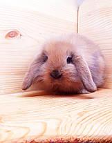 """Карликовый вислоухий кролик,порода """"Lion lop"""",окрас """"Тюрингенский"""",возраст 1,5мес.,девочка, фото 2"""