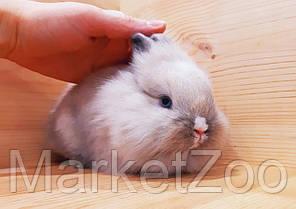 """Карликовый торчеухий кролик,порода """"Львиная голова"""",окрас """"Сиамский"""",мальчик,возраст 1,5мес., фото 3"""