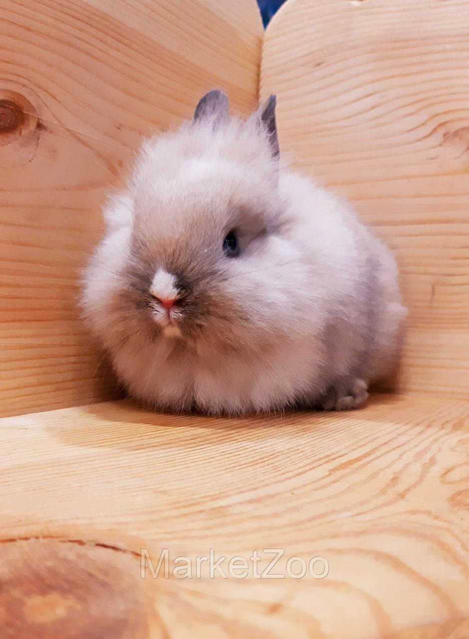 """Карликовый торчеухий кролик,порода """"Львиная голова"""",окрас """"Сиамский"""",мальчик,возраст 1,5мес."""