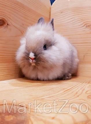 """Карликовый торчеухий кролик,порода """"Львиная голова"""",окрас """"Сиамский"""",мальчик,возраст 1,5мес., фото 2"""