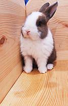 """Карликовый торчеухий кролик,порода """"Голландский"""",окрас """"Бело-тюрингенс."""",возраст 1,5мес.,девочка, фото 3"""