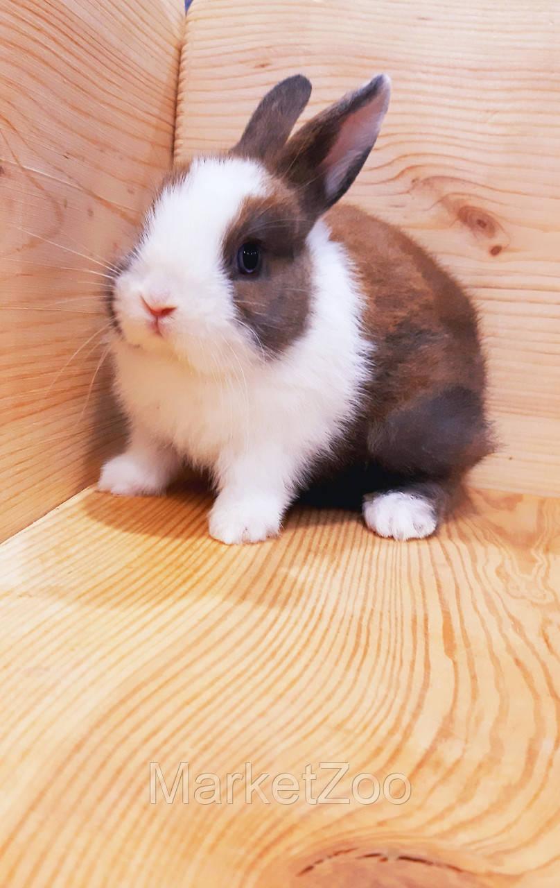 """Карликовый торчеухий кролик,порода """"Голландский"""",окрас """"Бело-тюрингенс."""",возраст 1,5мес.,девочка"""
