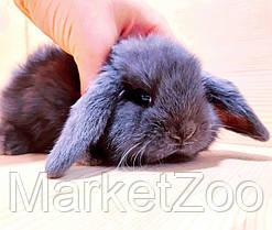 """Карликовый вислоухий кролик,порода """"Вислоухий баранчик"""",окрас """"Голубой"""",возраст 1,5мес.,девочка и мальчик, фото 3"""