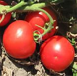 Семена томата ВОЛНА F1 / VOLNA F1, 1000 семян, фото 2