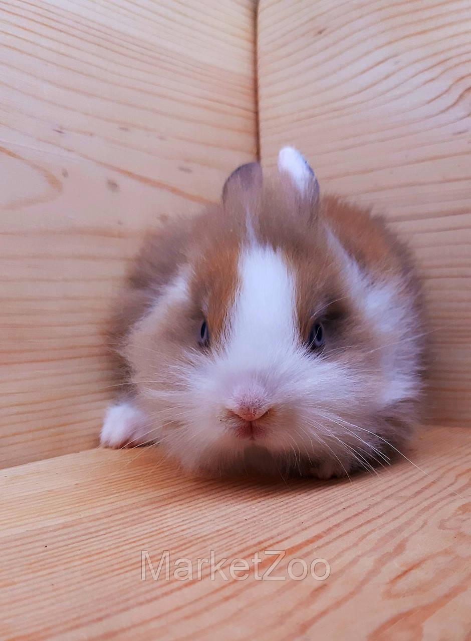 """Карликовый торчеухий кролик,порода """"Львиная голова"""",окрас """"Бело-оранж."""",возраст 1,5мес.,девочка."""