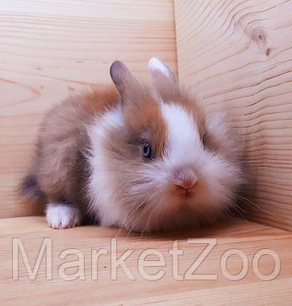 """Карликовый торчеухий кролик,порода """"Львиная голова"""",окрас """"Бело-оранж."""",возраст 1,5мес.,девочка., фото 2"""