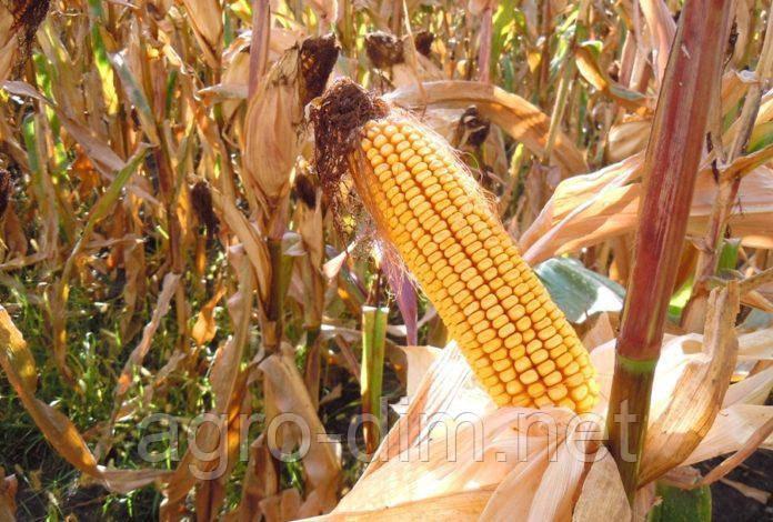 Семена кукурузы ДН Лада ФАО 190