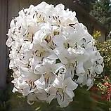 Лилия Casa Blanca -  Касса Бланка, фото 2