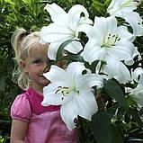 Лилия Casa Blanca -  Касса Бланка, фото 3