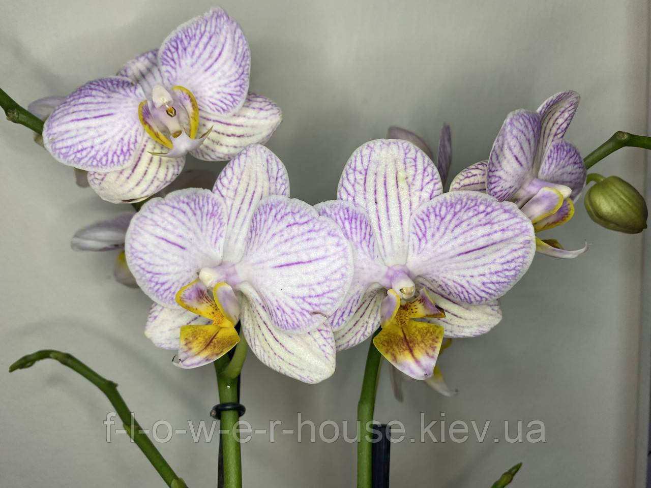 Орхидея Сирень с яркими губками