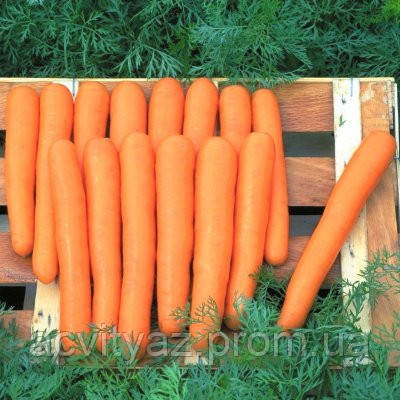 Семена моркови Маэстро F1 / Мaestro F1, 100 000 семян