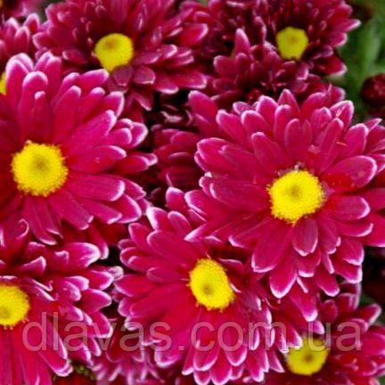Хризантема гілкова срезочная Арлекіно