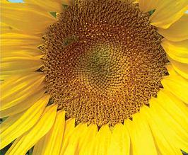 Насіння соняшника Мегасан