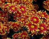 Хризантема веточная срезочная АКИМИЯ, фото 2