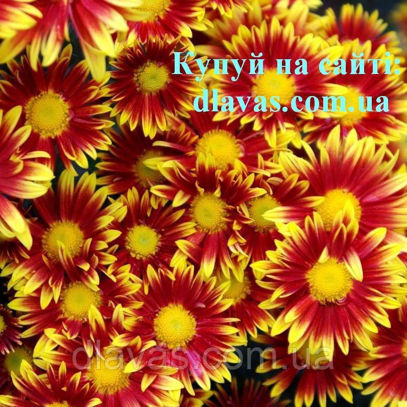 Хризантема веточная срезочная АКИМИЯ