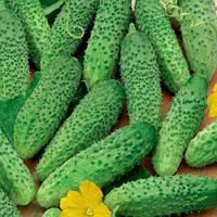 Маша F1 насіння огірка (Seminis)