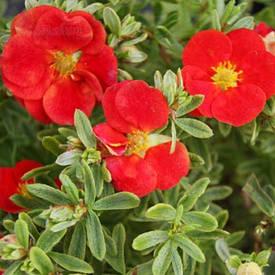 Лапчатка кущова Red Lady 2 річна, Лапчатка кустарниковая Ред Леди, Potentilla fruticosa Red Lady