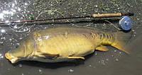 Живая рыба карп