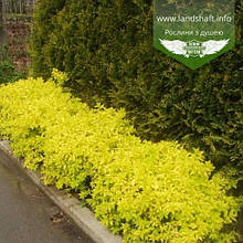 Spiraea japonica 'Golden Princess', Спірея японська 'Голден Прінцес',C2 - горщик 2л