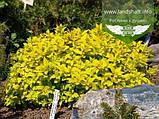 Spiraea japonica 'Golden Princess', Спірея японська 'Голден Прінцес',C2 - горщик 2л, фото 2