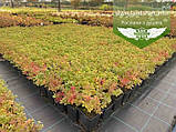 Spiraea japonica 'Golden Princess', Спірея японська 'Голден Прінцес',C2 - горщик 2л, фото 3