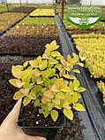 Spiraea japonica 'Golden Princess', Спірея японська 'Голден Прінцес',C2 - горщик 2л, фото 4