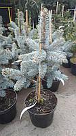 Ель голубая Хупси (Picea pungens Hoopsii)