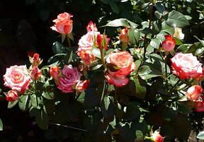 Роза Блаш (Blush) ч/г, фото 2