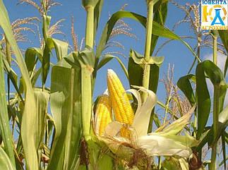 Семена кукурузы Оржица (ФАО 240)