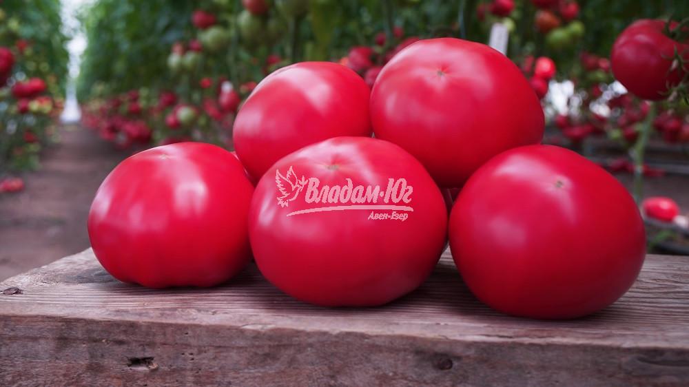 Насіння томату Макан F1 (250 нас.) Clause
