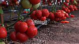 Насіння томату Макан F1 (250 нас.) Clause, фото 2