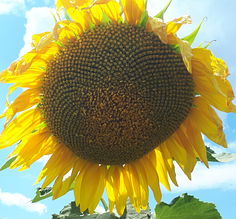 Насіння соняшника ЛГ 50662
