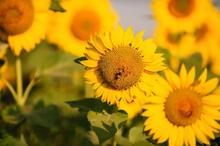 Насіння соняшника ЛГ 50505, фото 2