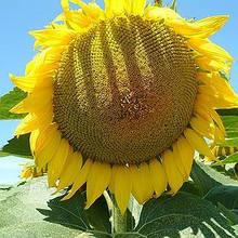 Насіння соняшника ЛГ 50635