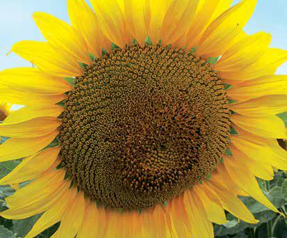Насіння соняшника ЛГ 5377, фото 2