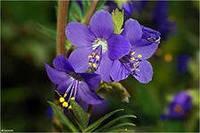Синюха голубая  (трава)  50гр