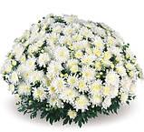 Мультифлора  белая крупная МАРМЕЛАДА, фото 3